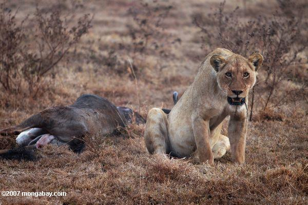 Female lion with wildebeest kill