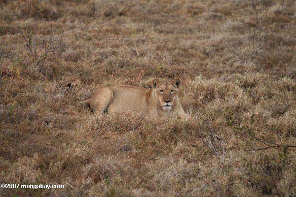 Female lion in savanna grass