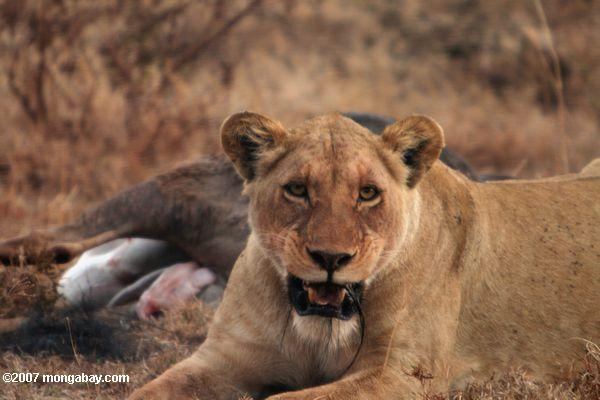 Female lion with wildebeest kill -- tz_2218