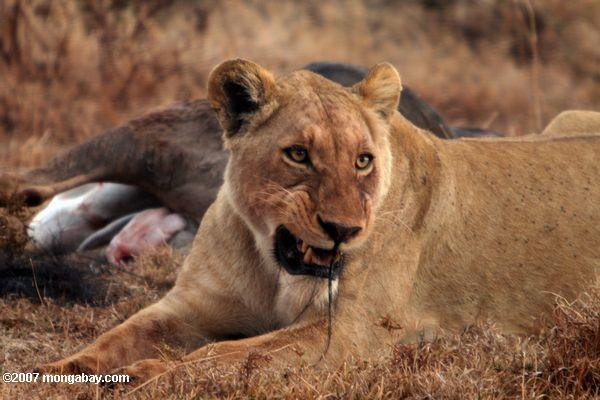 Female lion with wildebeest kill -- tz_2221