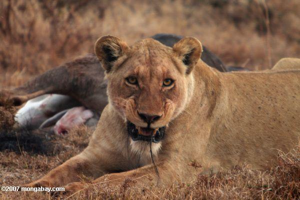 Female lion with wildebeest kill -- tz_2222