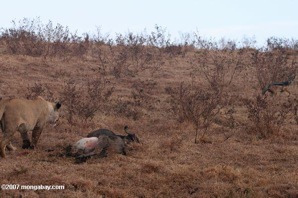 Female lion chasing a jackal off from a kill