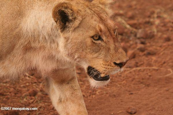 Lioness -- tz_2330