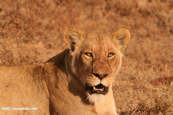 Lioness -- tz_2348
