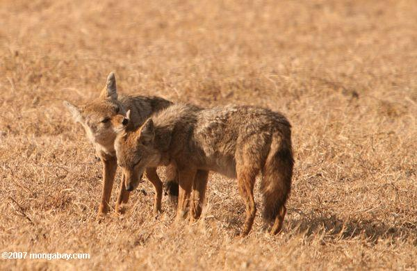 Pair of Oriental jackal (Canis aureus)