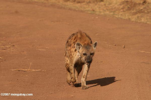 Spotted Hyena (Crocuta crocuta) -- tz_2385