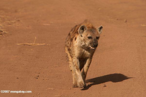 Spotted Hyena (Crocuta crocuta) on a dirt road -- tz_2387