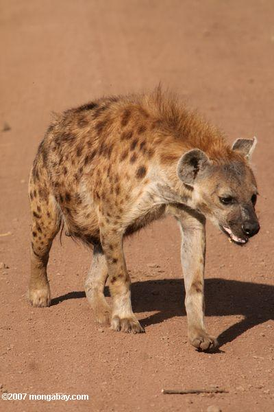 Spotted Hyena (Crocuta crocuta) on a dirt road