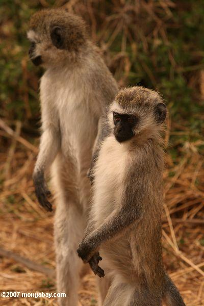 Pair of vervet monkeys standing on rear legs