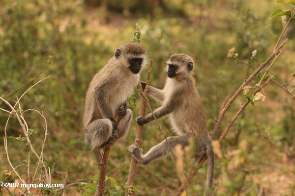 Pair of vervet monkeys -- tz_2444