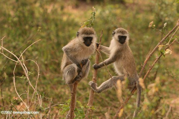 Pair of vervet monkeys -- tz_2445