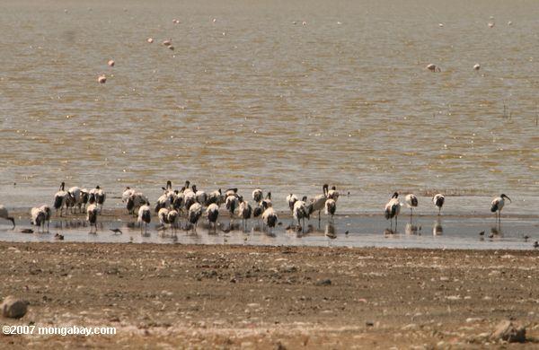 Sacred ibis in Lake Magadi