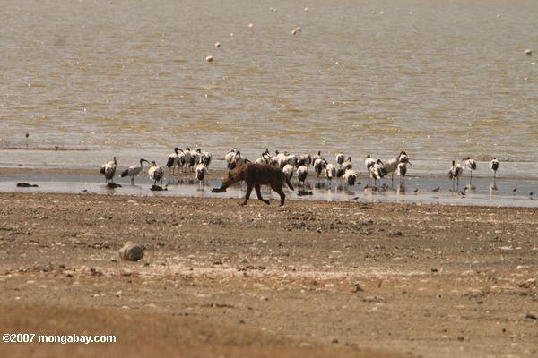 Hyena and sacred ibis on the shore of Lake Magadi -- tz_2471