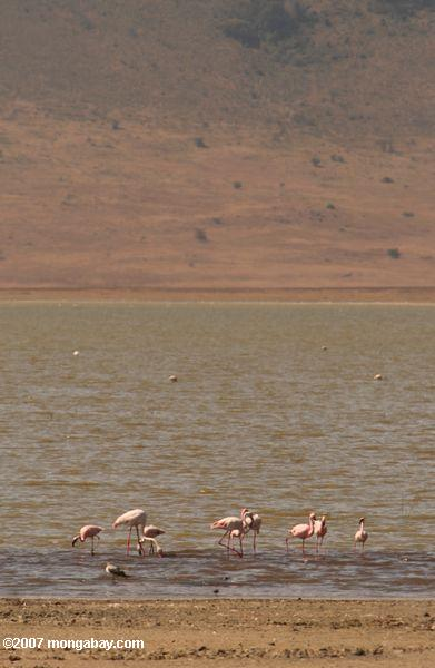 Lesser flamingo in Lake Magadi