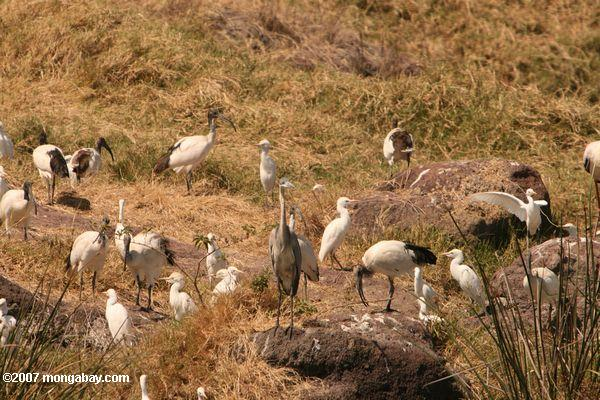 Gray heron, cattle egret, sacred ibis