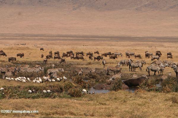 Hippos, zebra, sacred ibis, and wildebeest -- tz_2485