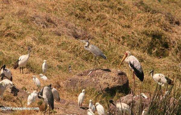 Gray heron, cattle egret, sacred ibis, yellow billed stork