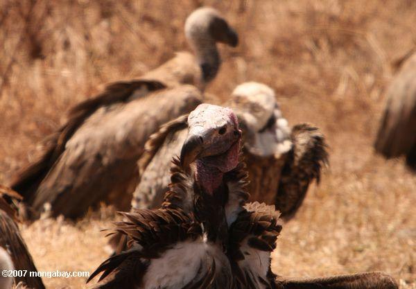White-headed Vulture (Trigonoceps occipitalis) -- tz_2559