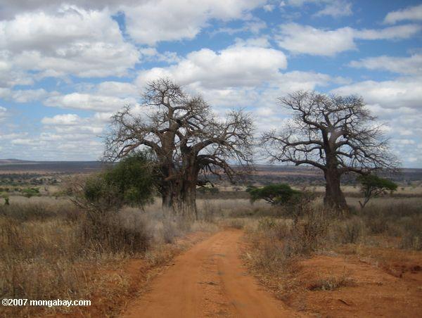 Dirt road running between two African Baobabs (Adansonia digitata)