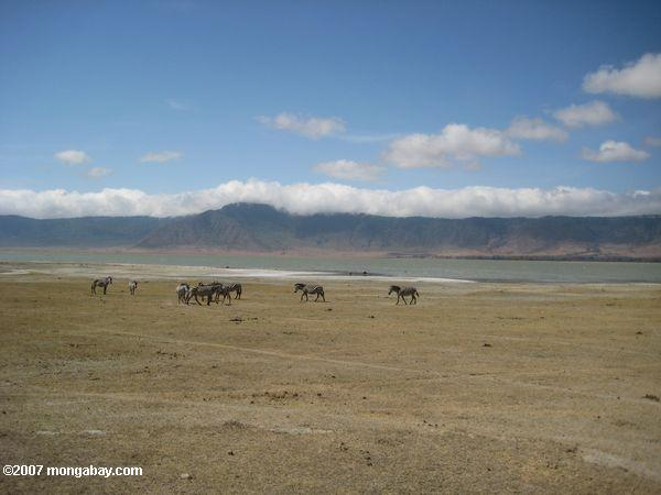 Zebra with Lake Magadi in the background