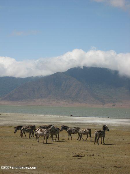Zebra with Lake Magadi in the background -- tz_elf_0628