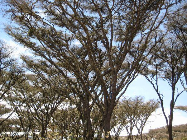 Trees in Ngorogoro Crater