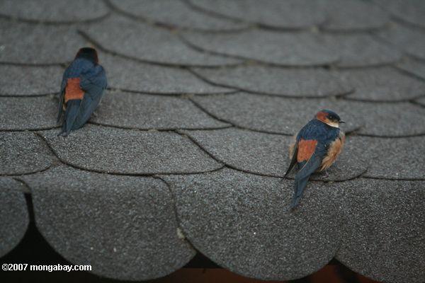 Red-rumped swallow (Hirundo daurica) -- tz_xt_3558
