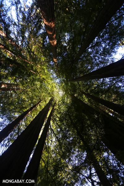 Redwood trees in Big Basin [ca_big_basin_00133]