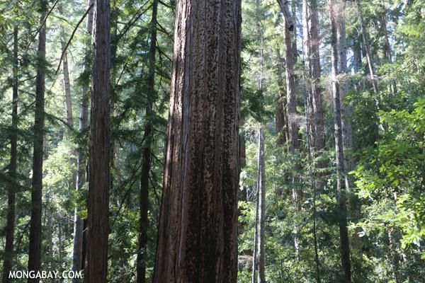 Redwood trees in Big Basin [ca_big_basin_00162]
