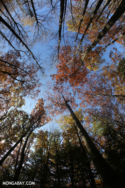 Leaves changing in an East Coast forest [pittsfield_state_forest_041]