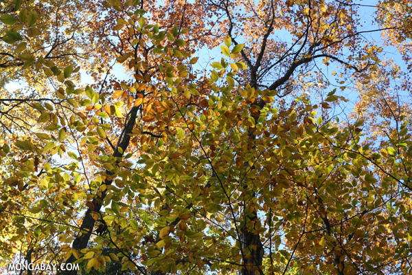 Leaves changing in an East Coast forest [pittsfield_state_forest_049]