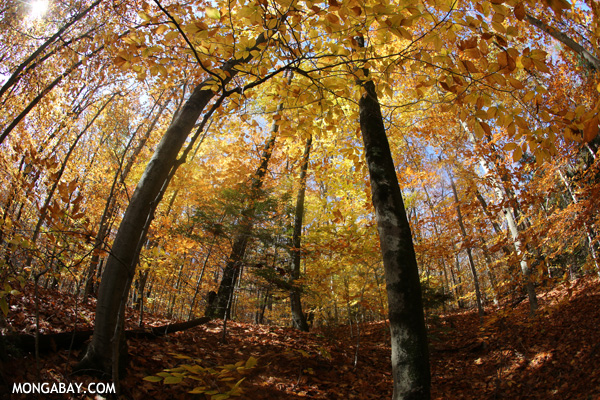 Leaves changing in an East Coast forest [pittsfield_state_forest_058]