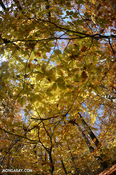Leaves changing in an East Coast forest [pittsfield_state_forest_070]