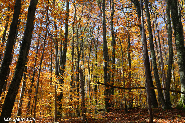 Leaves changing in an East Coast forest [pittsfield_state_forest_096]