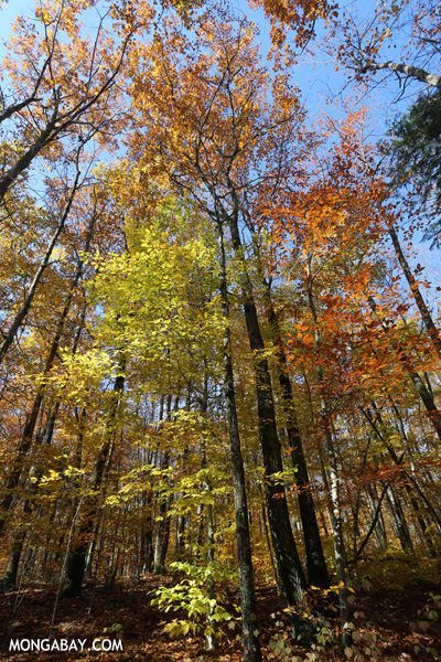 Leaves changing in an East Coast forest [pittsfield_state_forest_098]