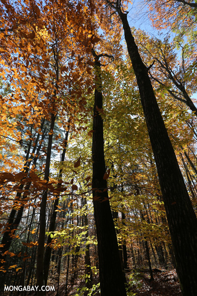 Leaves changing in an East Coast forest [pittsfield_state_forest_100]