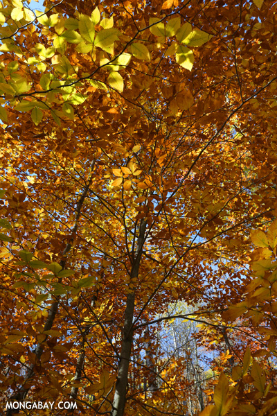 Leaves changing in an East Coast forest during the fall [pittsfield_state_forest_112]