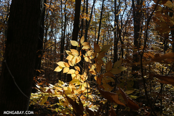 Leaves changing in an East Coast forest during the fall [pittsfield_state_forest_113]