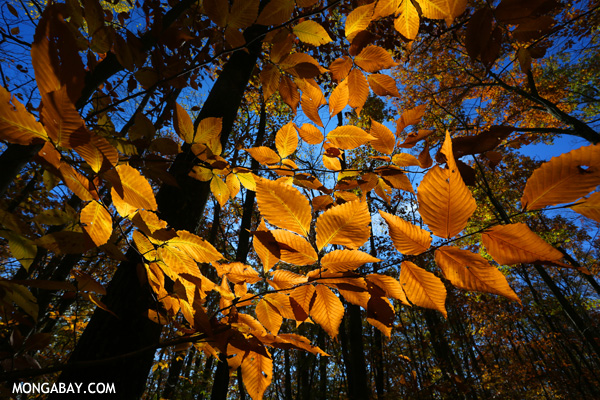 Leaves changing in an East Coast forest [pittsfield_state_forest_123]