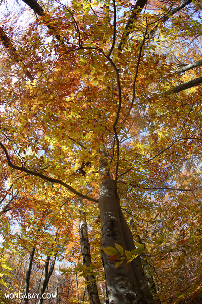 Leaves changing in an East Coast forest [pittsfield_state_forest_137]