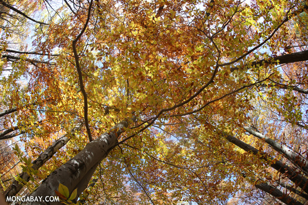 Leaves changing in an East Coast forest [pittsfield_state_forest_139]