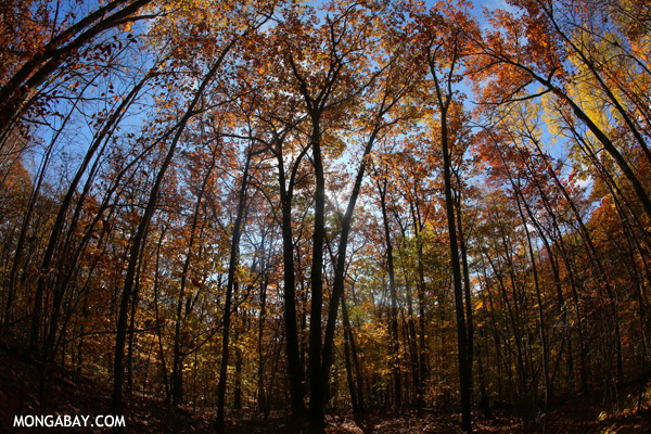 Leaves changing in an East Coast forest [pittsfield_state_forest_141]