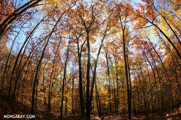 Leaves changing in an East Coast forest [pittsfield_state_forest_142]