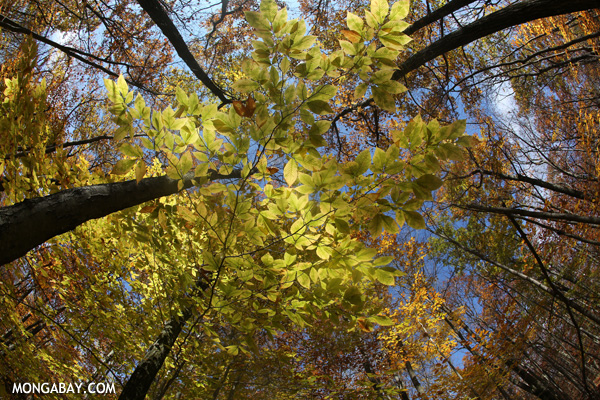 Leaves changing in an East Coast forest [pittsfield_state_forest_148]