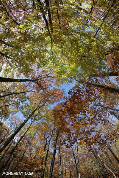 Fisheye view of a fall colors in an East Coast forest