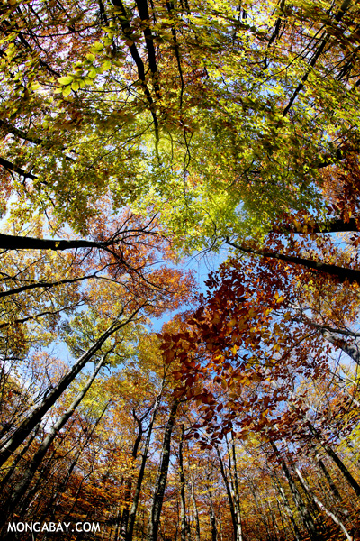 Fisheye view of an East Coast forest canopy [pittsfield_state_forest_156]