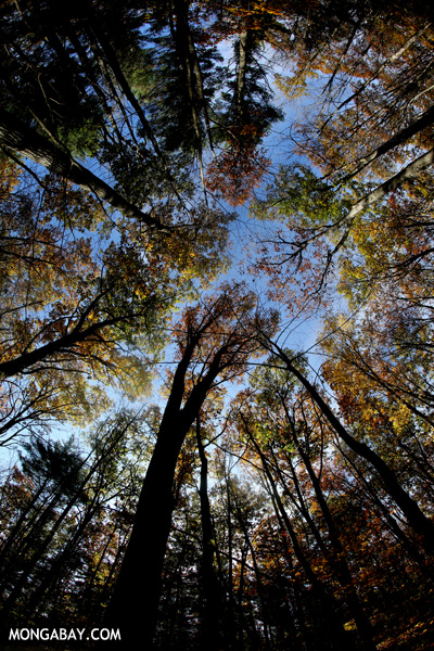 Fall in an East Coast forest [pittsfield_state_forest_201]