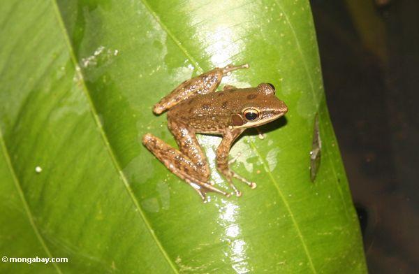 Brown frog on leaf in Ubud (Ubud, Bali) -- bali7891