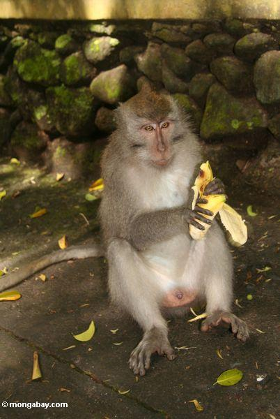 Male Long-tailed macaque eating a banana (Ubud, Bali)