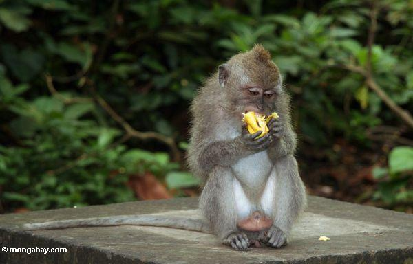 Male Cynomolgus monkey eating a banana (Ubud, Bali) -- bali8037